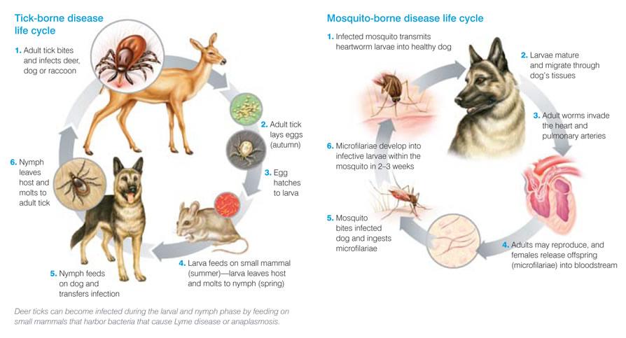 disease-life-cycles